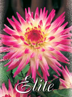 Kaktus-Dahlie 'Hayley Jane', Dahlia (Art.Nr. 520032)