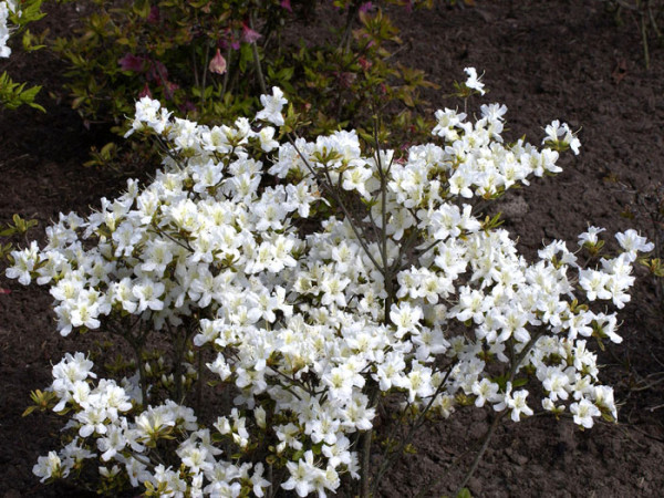 Rhododendron obtusum 'Schneeglanz', wintergrüne japanische Gartenazalee