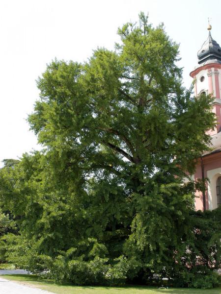 Ausgewachsener Fächerblattbaum