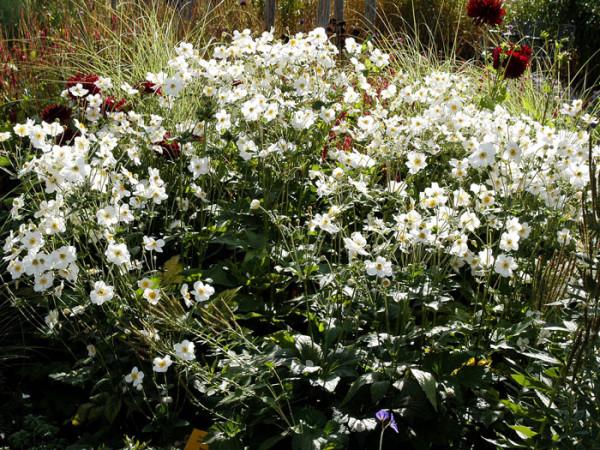 Blütenfülle der Herbstanemone 'Honorine Jobert'