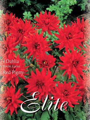 Beet-Dahlie 'Red Pigmy', Dahlia (Art.Nr. 520328)