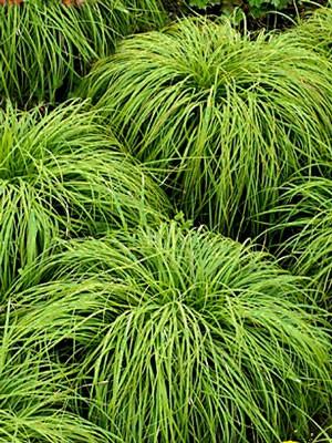 Carex umbrosa, Immergrüne Schatten-Segge