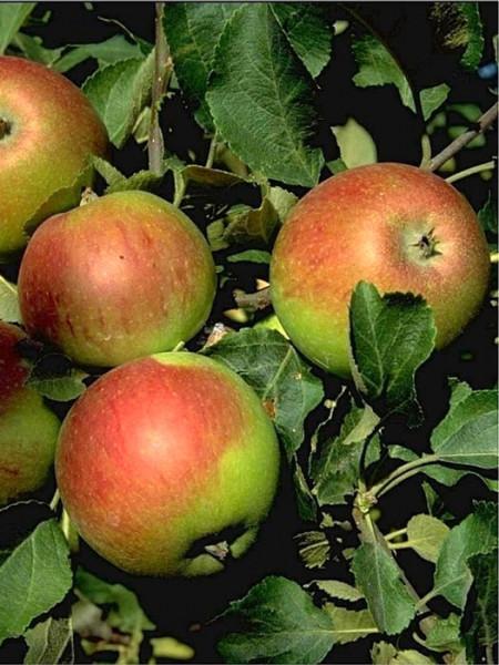 Die schmackhaften Früchte des Apfels 'Alkmene'