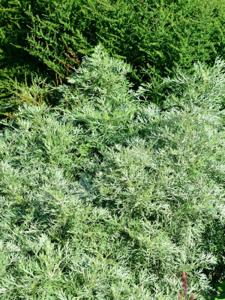 Artemisia arborescens 'Powis Castle', Edelraute, halbstrauchiger Wermut