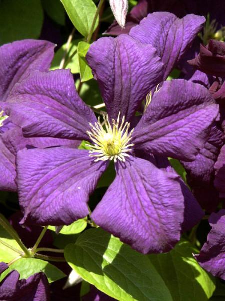 Blüte der Clematis 'Etoile Violette'