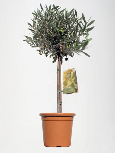 Olea europaea, Oliven-Stämmchen