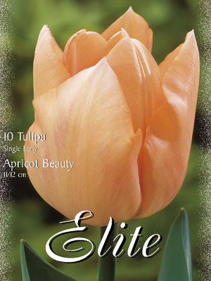Einfache frühe Tulpe 'Apricot Beauty' (Art.Nr. 595100)