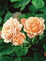 Rose Charles Austin ® - Austin
