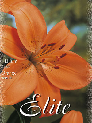 Asiatische Lilien-Hybride 'Orange' (Art.Nr. 597084)
