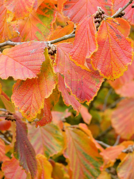 Herbstfärbung der Zaubernuss 'Bramstedts Gold'