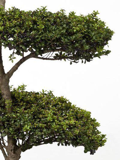 Ilex crenata Convexa - Bonsai, XXL-Produkt