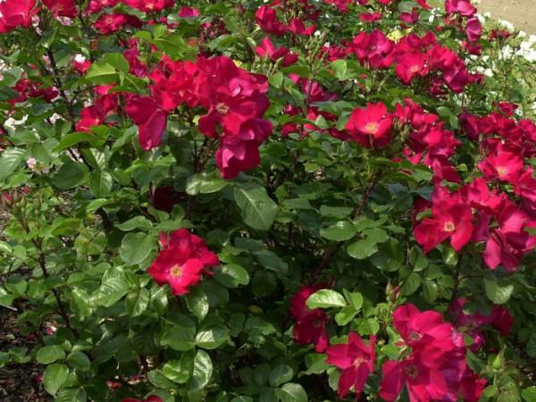 Strauch der Rose Robusta