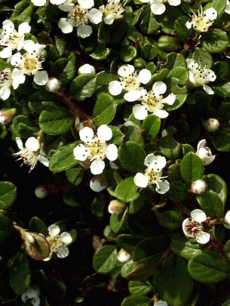 Blatt und Blüte der Zwergmispel 'Streibs Findling'