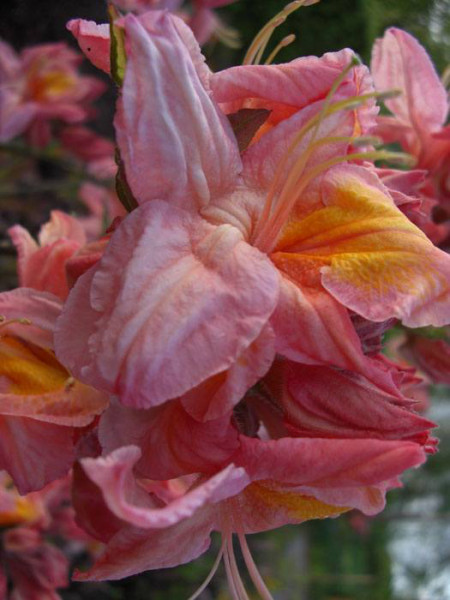 Rhododendron luteum 'Berryrose', sommergrüne japanische Gartenazalee