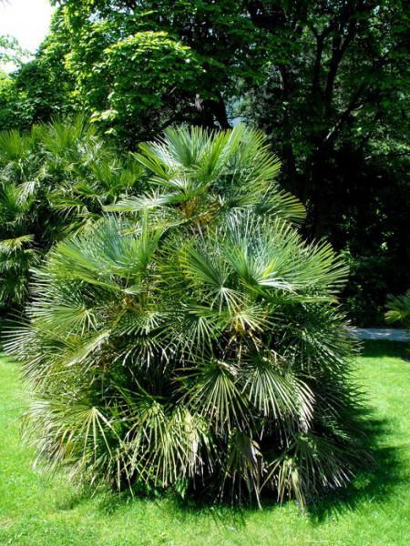 Chamaerops humilis als Solitärpflanze eingesetzt