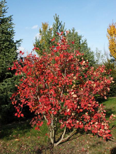 Herbstfärbung des Perückenstrauchs 'Young Lady'