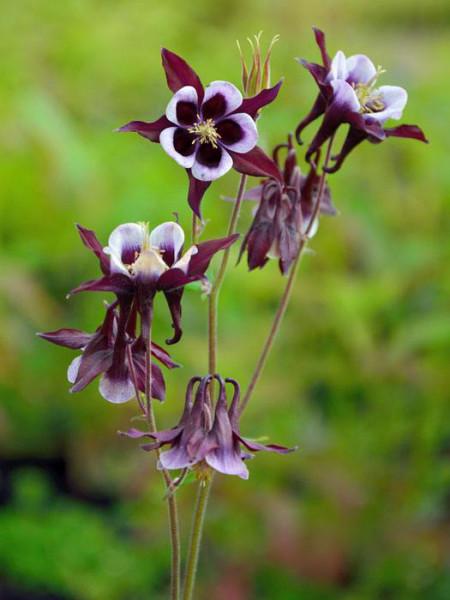 Aquilegia vulgaris 'William Guiness', Purpur-Akelei