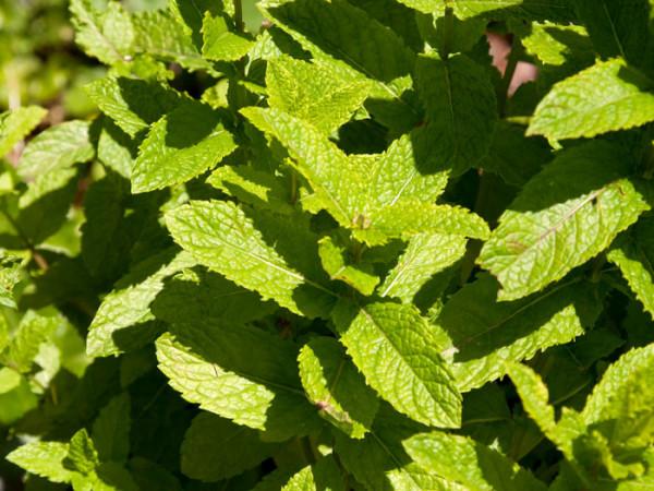 Marokkanische Minze, Mentha spicata v. crispa 'Marokko'