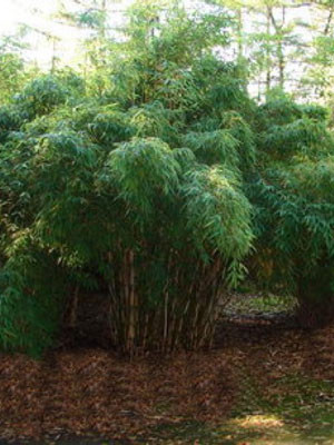 Fargesia robusta 'Campbell', Großer Heckenbambus