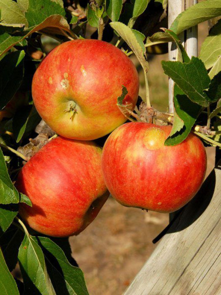Elstar, Apfel U-Spalier