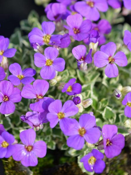 Violette Blüte des weißbunten Blaukissens