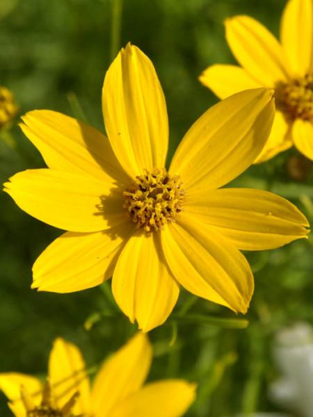 Coreopsis verticillata 'Zagreb' (M), Quirlblättriges Schönauge, Netzblattstern