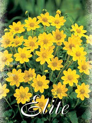 Topmix-Dahlie 'Yellow', Dahlia (Art.Nr. 520620)