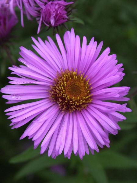 Aster novae-angliae 'Barr's Pink', Raublatt-Aster