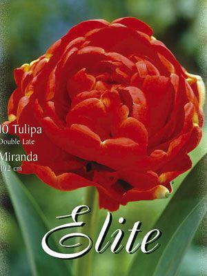 Gefüllte späte Tulpe 'Miranda' (Art.Nr. 595412)