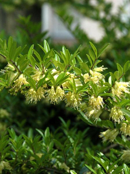 Böschungsmyrte Blüten