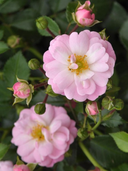 Blühende Rose Satine
