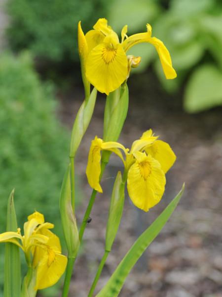 Iris pseudacorus, Wasserschwertlilie