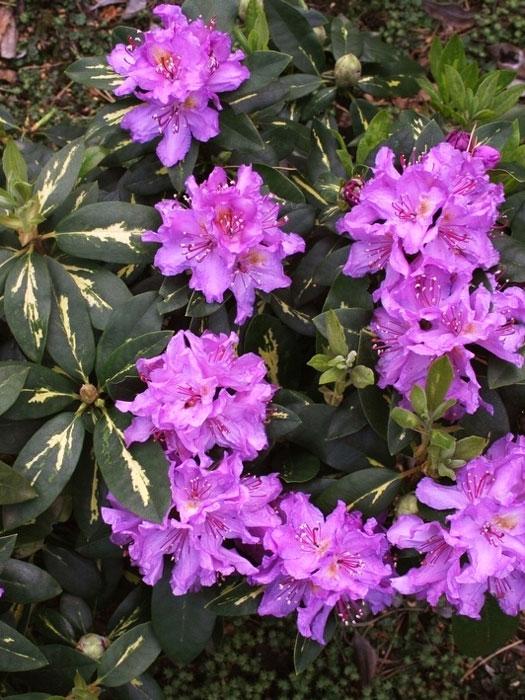 rhododendron 39 goldflimmer 39 gartencenter shop24. Black Bedroom Furniture Sets. Home Design Ideas