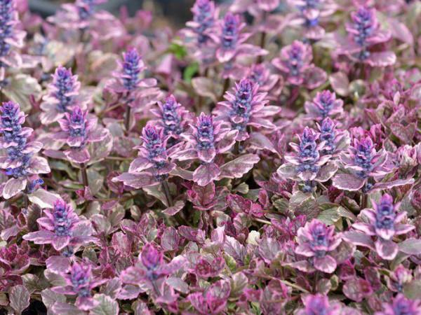 Reiche Blüte des buntblättrigen Günsels
