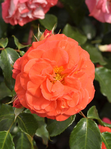 Blüte der Rose Gebrüder Grimm