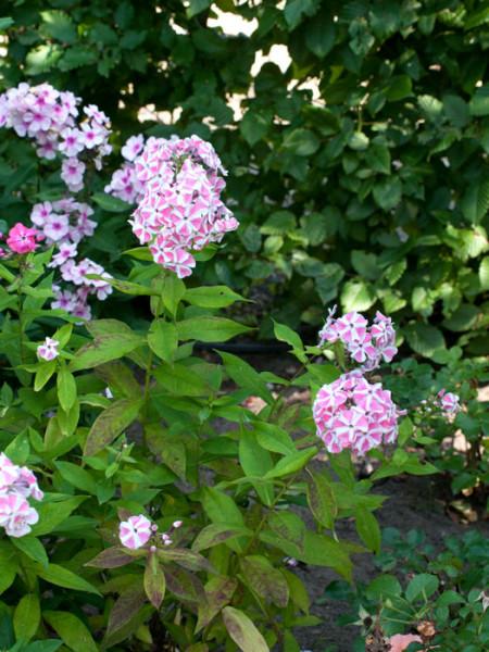 Phlox paniculata 'Peppermint Twist', Flammenblume, Sommerphlox