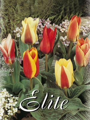Greigii-Tulpen-Prachtmischung (Art.Nr. 595800)