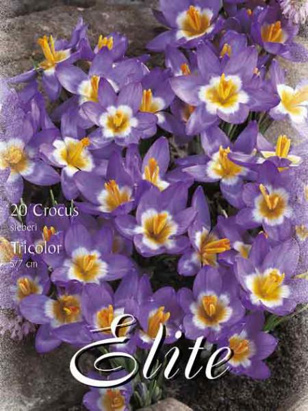 Frühjahrsblühender Krokus 'Sieberi Tricolor' (Art.Nr. 596226)