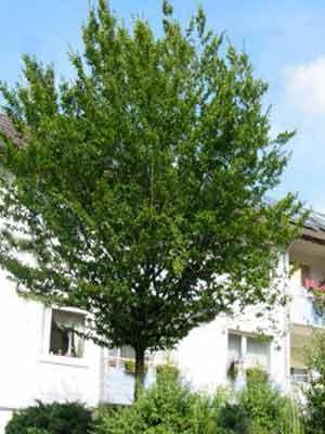 Carpinus betulus Baum