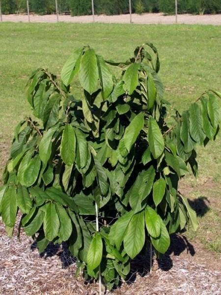Indianerbanane 'Sunflower' (PauPau, PawPaw) - veredelt