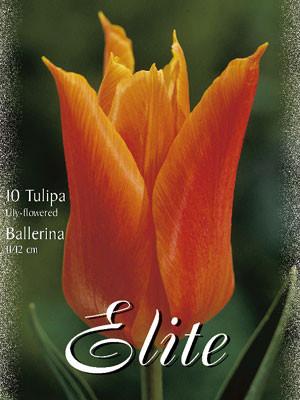 Lilienblütige Tulpe 'Ballerina' (Art.Nr. 595452)