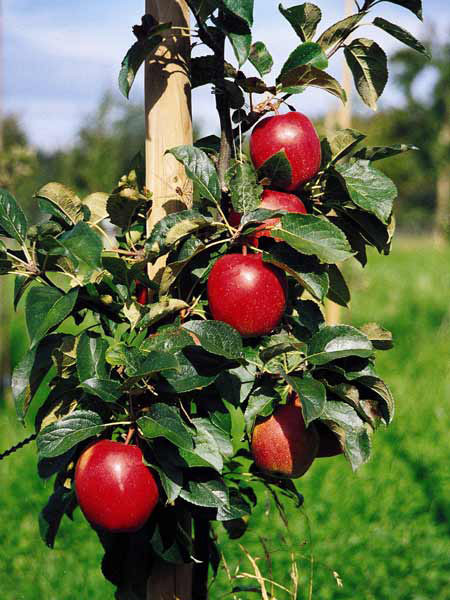 Baum mit Apfel Saturn
