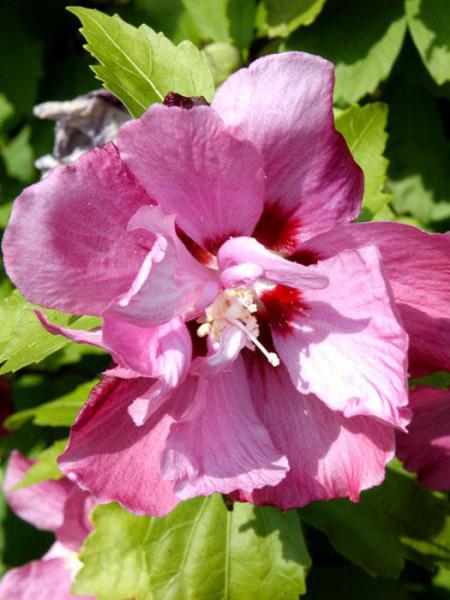 Hibiskus Duc de Brabant Blüte