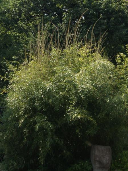 Phyllostachys aureosulcata 'Spectabilis', Zickzack-Bambus