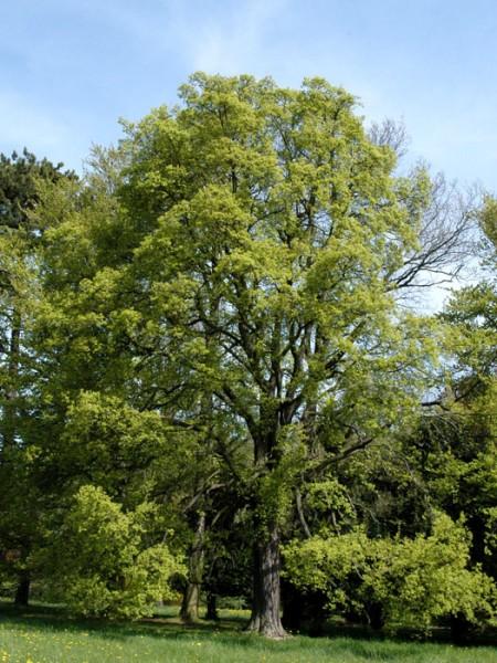 Acer campestre Baum