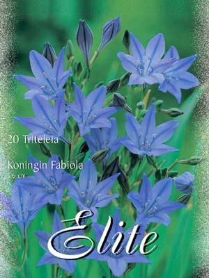 Narrenzwiebel 'Königin Fabiola', Triteleia (Art.Nr. 522110)