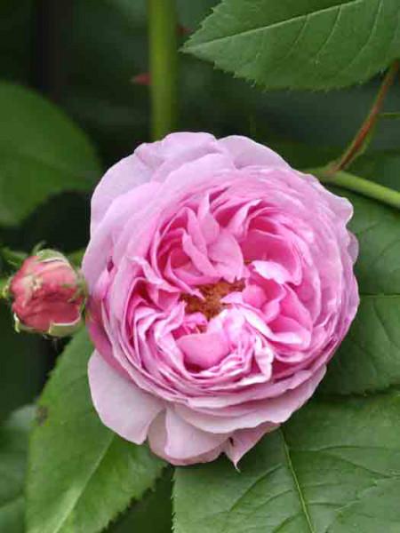 Blüte der Rose Louise Odier