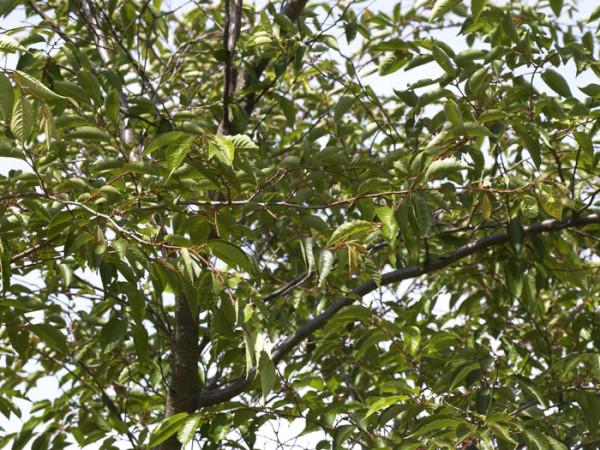 Prunus subhirtella 'Accolade', Frühe Zierkirsche - XXL-Produkt