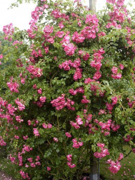 Strauch der Rose American Pillar