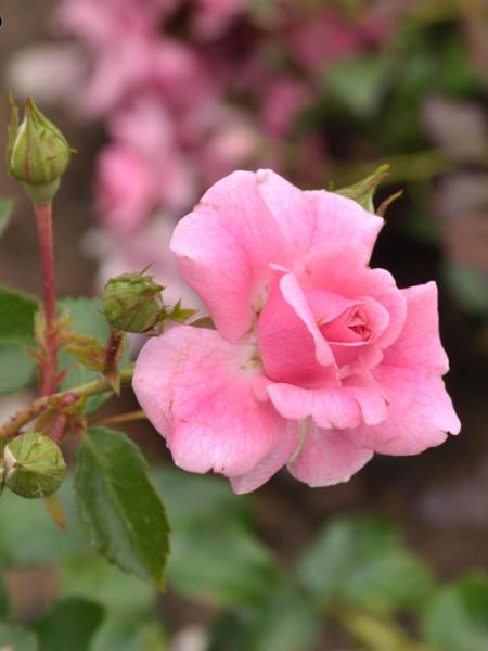 Blüte der Rsoe Mirato